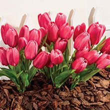 All-Weather Forever Blooms - Pink Tulips